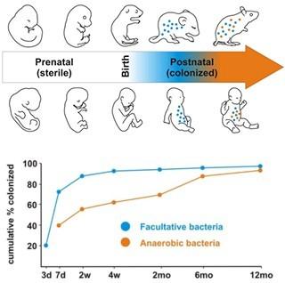 圖二、腸道微生物在生產時接種並於出生後漸趨穩定 圖中藍色點 (facultative bacteria)和橘色點 (anaerobic bacteria)代表不同品種的細菌。齧齒類 (rodent)和人類一樣,在生產前 (prenatal state),身體內處於無菌的狀態 (sterile state),並於出生時接種,產後(postnatal state)可以看到微生物菌群數量逐漸變多,種類也逐漸多樣化。