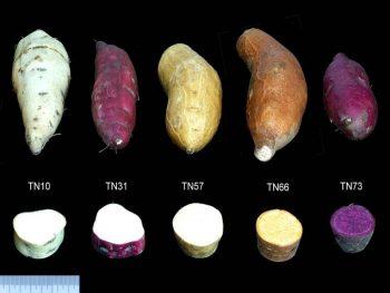 這些好吃的蕃薯,原來也都是「基改」作物? credit:農委會