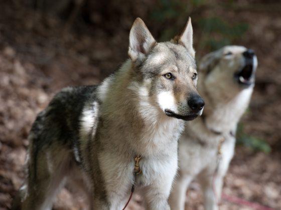 狗是由狼演化而來的。 source:Flicker