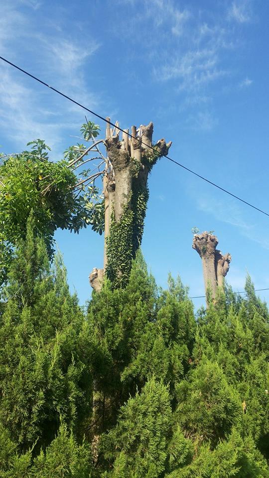 修枝後的黑板樹(林大利攝,照片中之黑板樹非當是黑板樹)