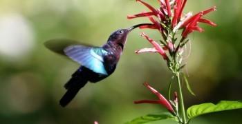 蜂鳥的吸管舌頭