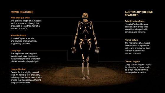 納萊迪人各部位的形態,兼具人屬與南方古猿屬的特徵。(取自ref 4)