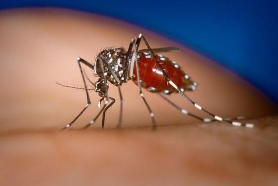 白線斑蚊 Aedes-albopictus