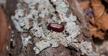 地上的紅豆不要亂撿! 關於蟑螂卵鞘的二三事