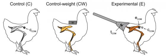 研究一的三組雞,控制組(C)、加上鉛塊的雞(CW)和用黏土固定假尾巴的實驗組(E)(Grossi B, et al. PLoS One. 2014 Feb 5;9(2):e88458.)。