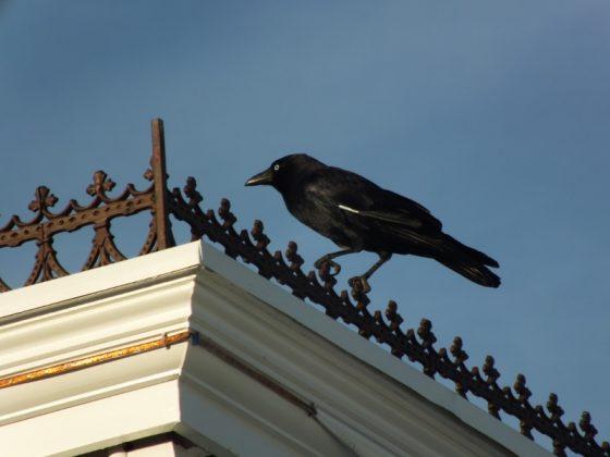 Torresian Crow (Corvus orru) (800x600)