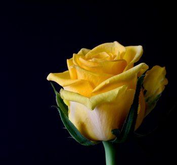 rose-bloom-320842_1280