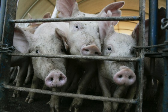 pigs Swine center -College of Agriculture and Environmental Science Tuesday, May, 19, 2009, in Athens. (Photo/John Amis)
