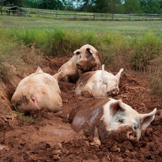 豬,PanSci