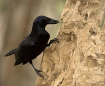 New Caledonian crows make and use 'hooked stick tools' to hunt for insect prey. Credit: Image courtesy of University of Exeter