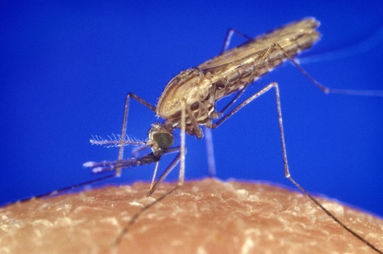 Anopheles_gambiae_mosquito_feeding_1354.p_lores