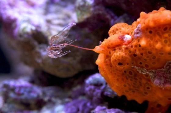 大班躄魚(Antennarius maculatus)的釣竿。source:zoo.micw