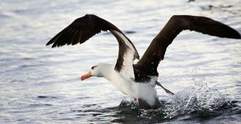 海鳥吃塑膠?日益嚴重的海洋塑膠危機——《科學月刊》