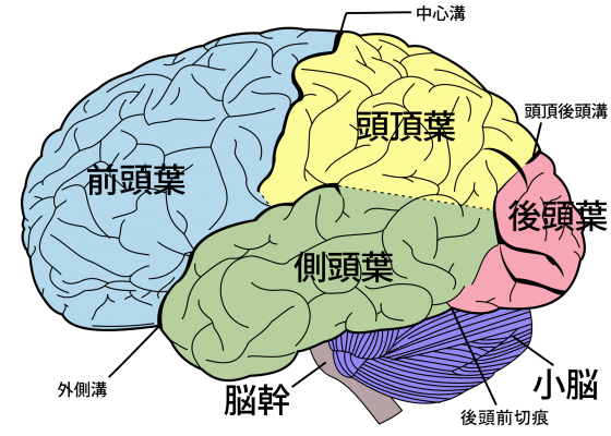 2000px-Brain_diagram_ja.svg
