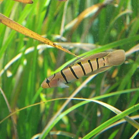 蛇首高鳍蝦虎。圖/wikipedia