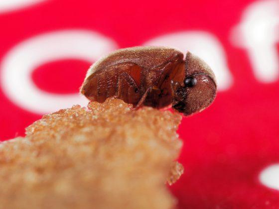 菸甲蟲(Lasioderma serricorne),體長約3~4公釐。