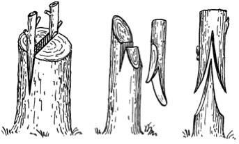 嫁接為植物在園藝中所使用的其中一種繁殖方法,把植物體的一部分(接穗)固定在另外一個植物體(砧木)上,使其組織相互運送水分養分。 Credit: Graft