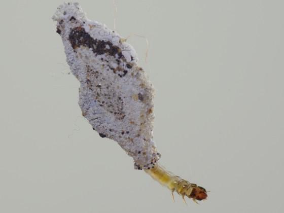 衣蛾(Phereoeca uterella)的幼蟲,衣櫥或書桌的夾層裡其實常有發現牠們的機會。一般我們所稱的「衣蛾」英文稱作Clothes moth,為蕈蛾科中數種居家環境常見蛾類的統稱。