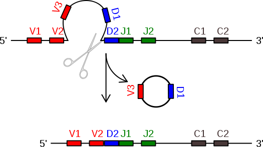 525px-V(D)J_recombination-diagram3.svg