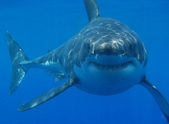 640px-Great_white_shark_south_africa