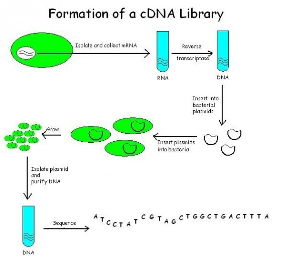 Formation_of_a_cDNA_Library