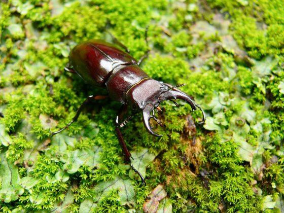 黑腳深山鍬形蟲(蔡正隆提供)