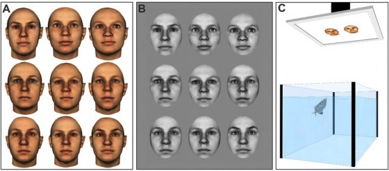 Examples of face images representative of those used in Experiment 1 (A) and Experiment 2 (B). Images shown are 3D morphs of several faces to protect the privacy of specific individuals. All face images were provided by the Max-Planck Institute for Biological Cybernetics in Tübingen, Germany. (C) Illustration of the experimental setup.