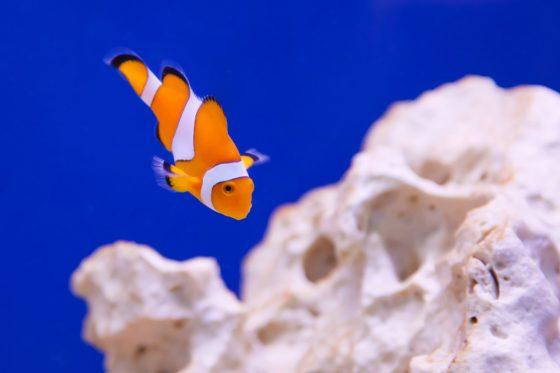 clownfish-11299071692zpB