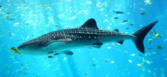 640px-Whale_shark_Georgia_aquarium