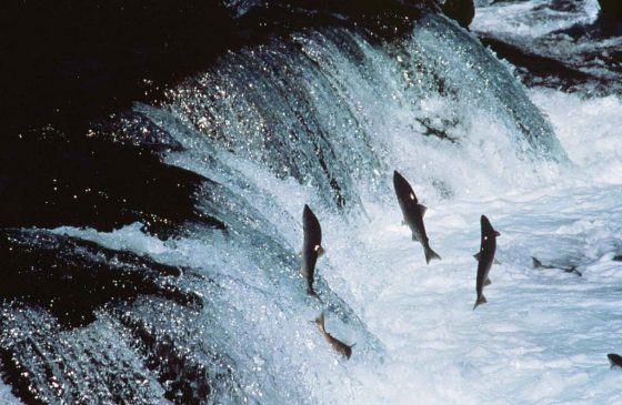 1024px-Adult_sockeye_salmon_encounter_a_waterfall_on_their_way_up_river_to_spawn