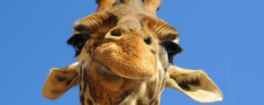 長頸鹿可能比你想得還要「有種」