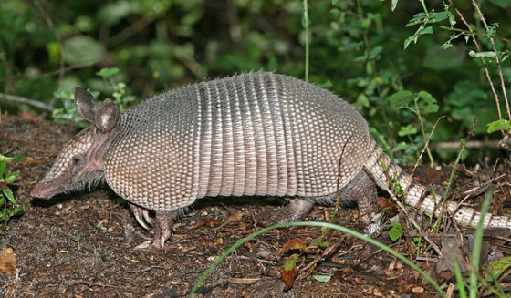 640px-Nine-banded_Armadillo