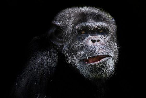 黑猩猩。圖 / By Patrick Bouquet @ flickr