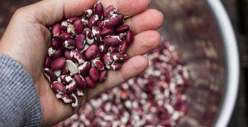 不比商業品系差!重新發現家傳品系菜豆的價值——2016 國際豆類年