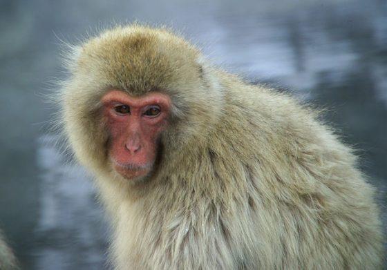 日本獼猴。圖 / By Wikimedia Commons