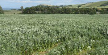 豆類作物當綠肥還是輪作?問問老祖先吧!—— 2016國際豆類年