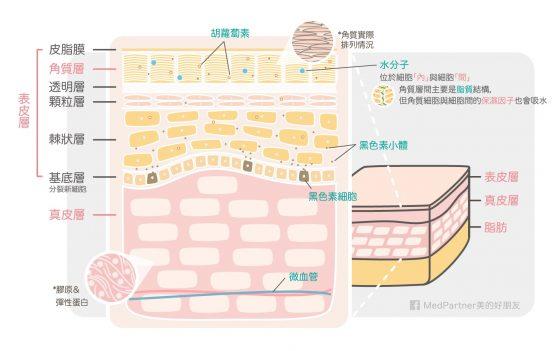 美白part1_皮膚解剖-1