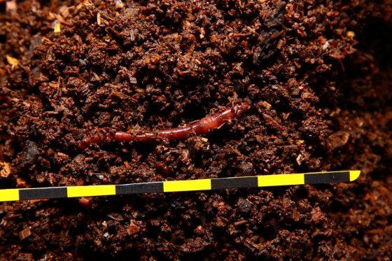歐洲紅蚯蚓(安卓愛勝蚓 Eisenia andrei)背面觀。圖/作者提供