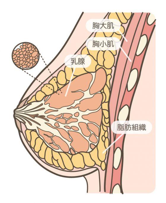 副乳_胸部解剖-768x940