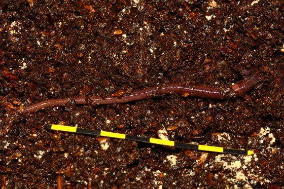 粗大長的非洲夜蚯蚓(尤金真蚓 Eudrilus eugeniae),尾部變細變扁顏色變淡