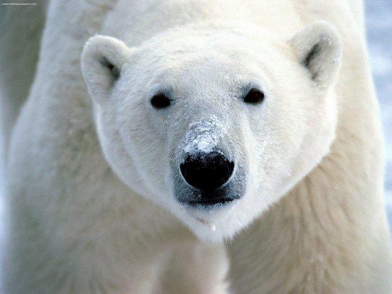 「想著北極熊」真的能讓我們更有效的省電嗎?圖 / By flickrfavorites @ flickr, CC BY 2.0