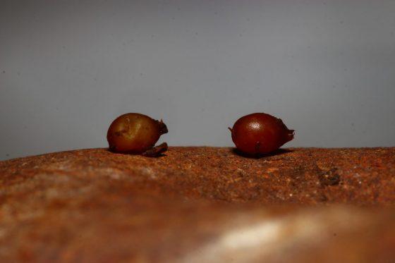 歐洲紅蚯蚓的卵繭,顏色越深紅越接近孵化時刻