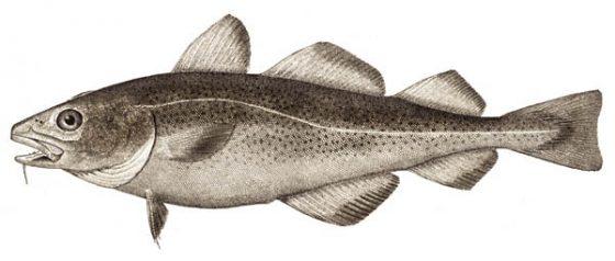 大西洋鱈。圖/EugeneZelenko @ wiki