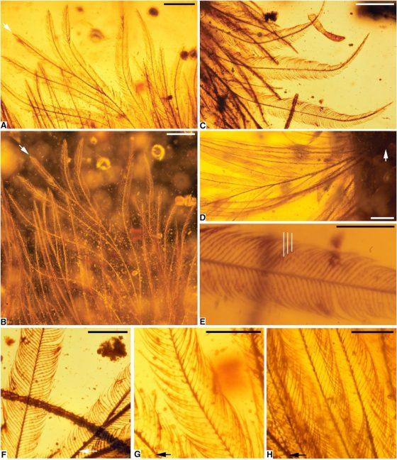顯微鏡觀察琥珀裡的羽毛在不同角度下的照片。圖/取自原始論文