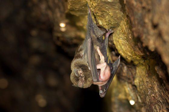 新北瑞濱蝙蝠洞內的東亞摺翅蝠。圖/師大提供