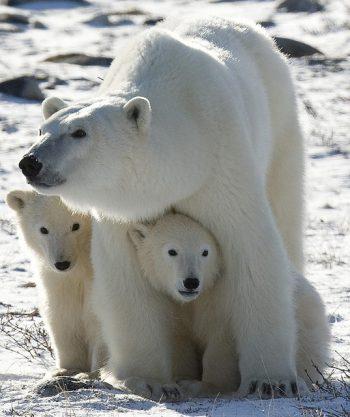 「北極熊愛護幼獸,但也兇猛無比。」圖/Karilop311 @ Flickr