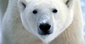 北極熊。圖/flickrfavorites @ Flickr