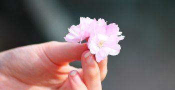 櫻花櫻花幾時開?春天冷就晚點開吧!