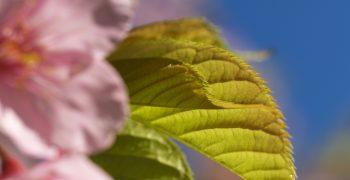 如果可以簡單,誰想要複雜:為什麼櫻花的葉子會發育成鋸齒?