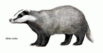 獾能比人類聽到更多聲音,但牠們聽得懂巴哈嗎?──《變身野獸》